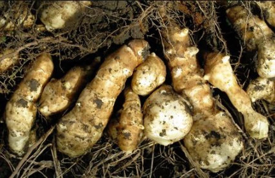 A legigénytelenebb zöldségünk, de páratlan élettani hatásai vannak