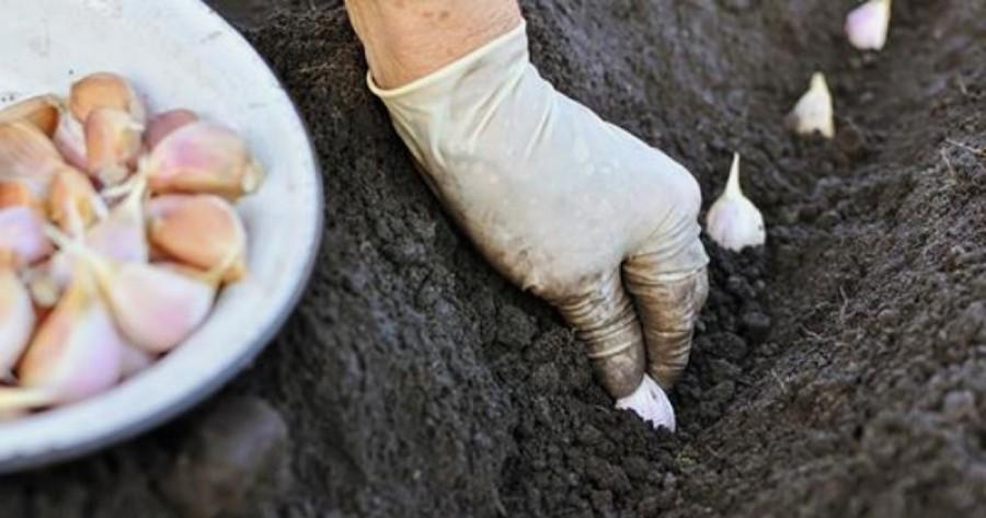 Ültess ősszel fokhagymát: ezeket tartsd be, hogy bőséges termésed legyen