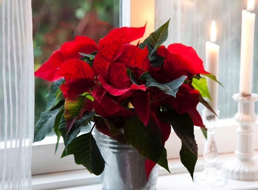 Így gondozzuk a mikulásvirágot, hogy idén karácsonykor is szép legyen!