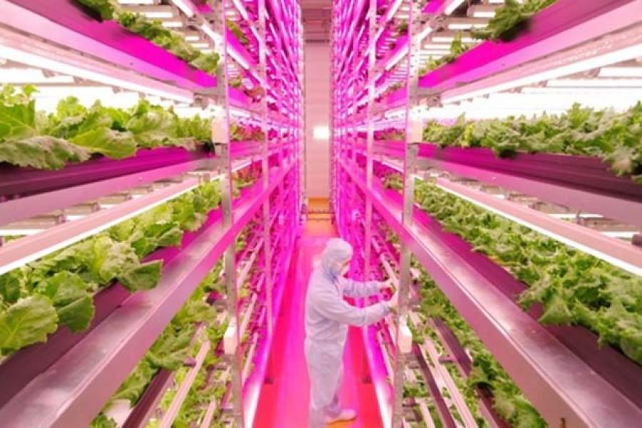 Naponta 25.000 salátát termesztenek egy japán farmon
