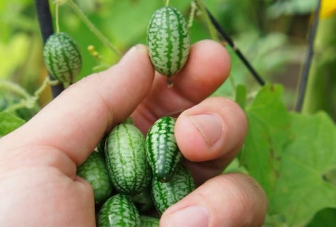 Fura gyümölcs: Mini görögdinnye, más néven mexikói egérdinnye