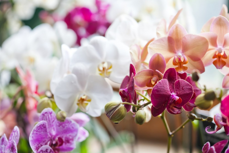 Ezt kell tenned tavasszal az orchideával és nem fogja abbahagyni a virágzást