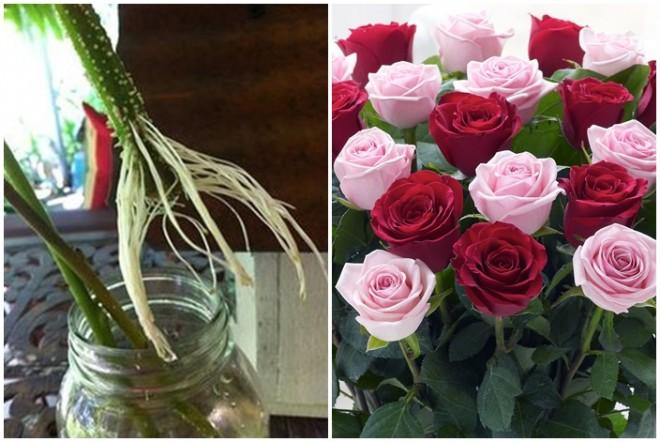 Gyökereztesd az ajándékba kapott rózsaszálakat