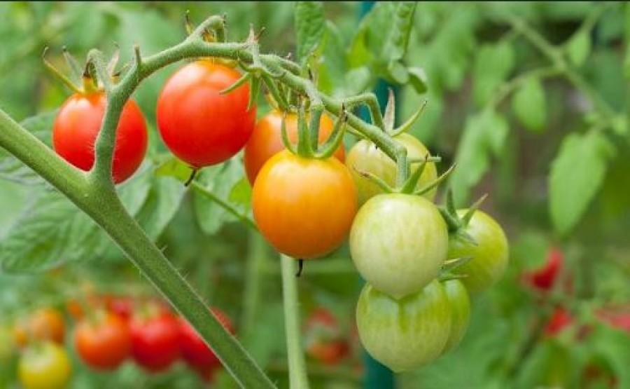 Élesztős oldattal öntözd a paradicsomot és az uborkát