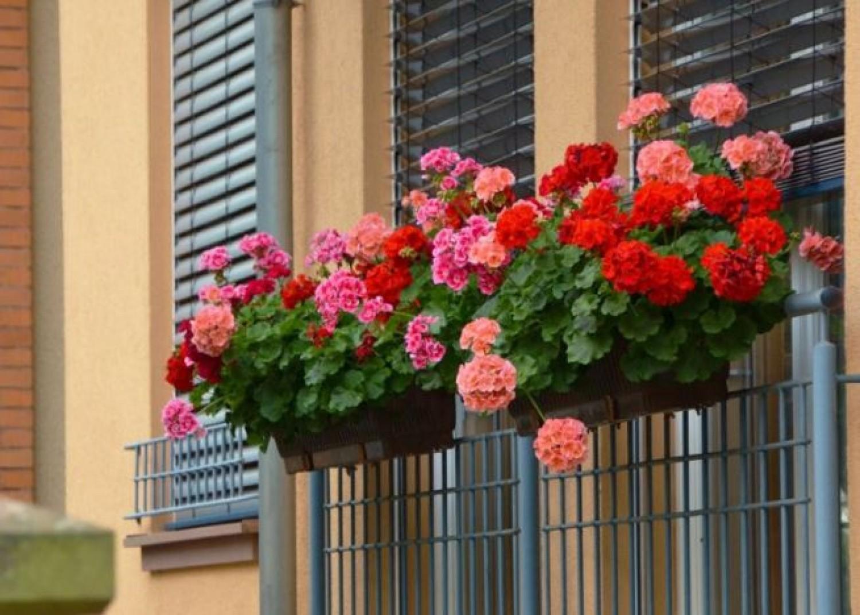 A leghálásabb növény! Így lesz csodásan dús levélzete és rengeteg virága a muskátlidnak.