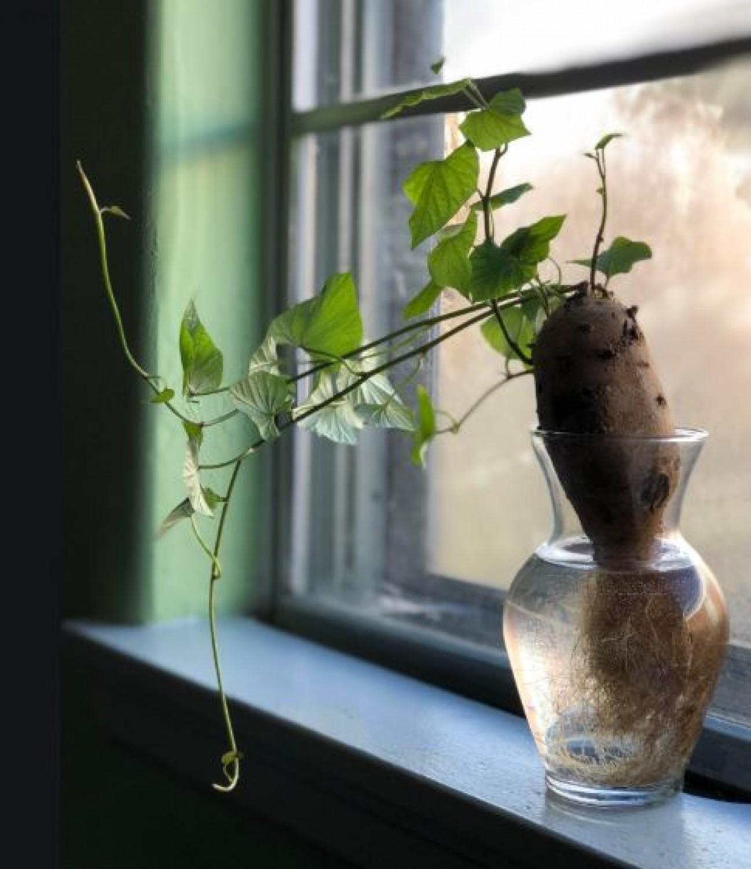 Hajtass édesburgonyát a konyhaablakban. Nem is hiszed, milyen csodaszép növény lesz belőle!