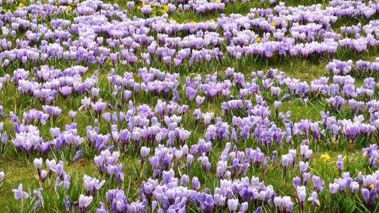 Varázslatos sáfránymező - már virágzik a tavasz egyik első hírnöke