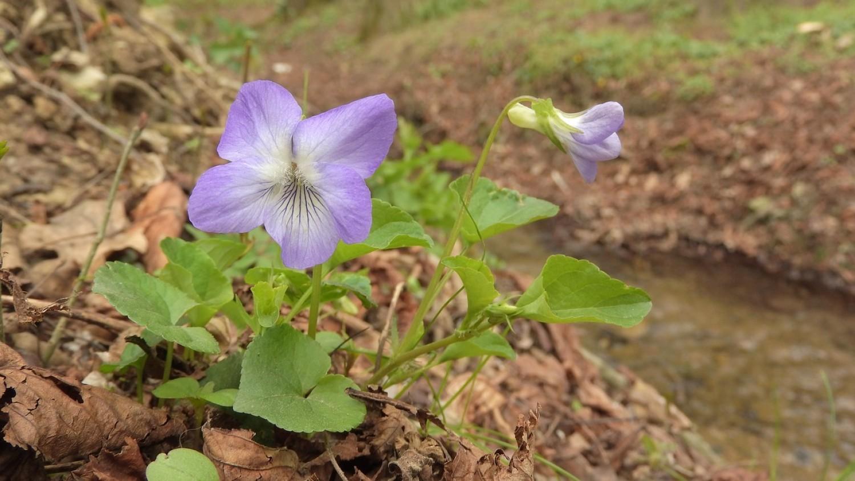 Az ibolya nem csak szép, hanem sokoldalú gyógynövény is!