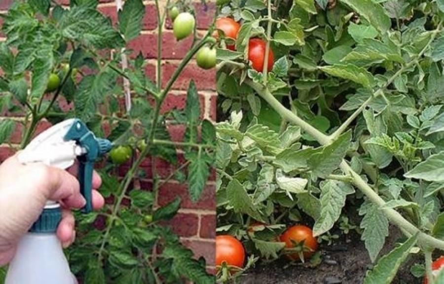 Egy házilag elkészíthető növényvédő szer, amit bárki megcsinálhat