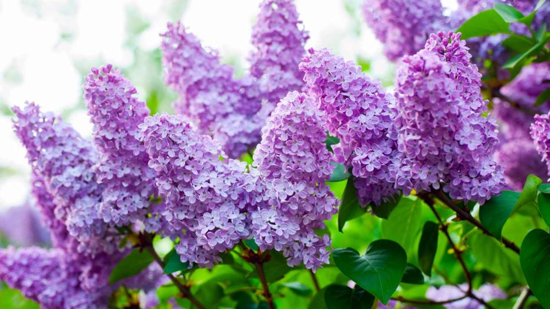 Az orgona dús virágzata a metszésen múlik