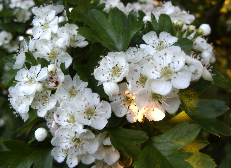 A tavaszi domboldalak fehér ruhás menyasszonya