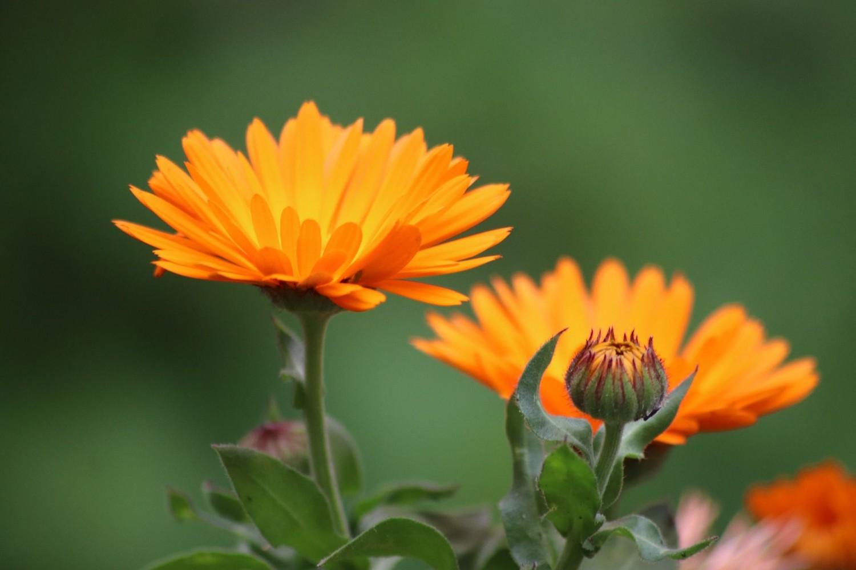 Amit a körömvirágról tudni kell