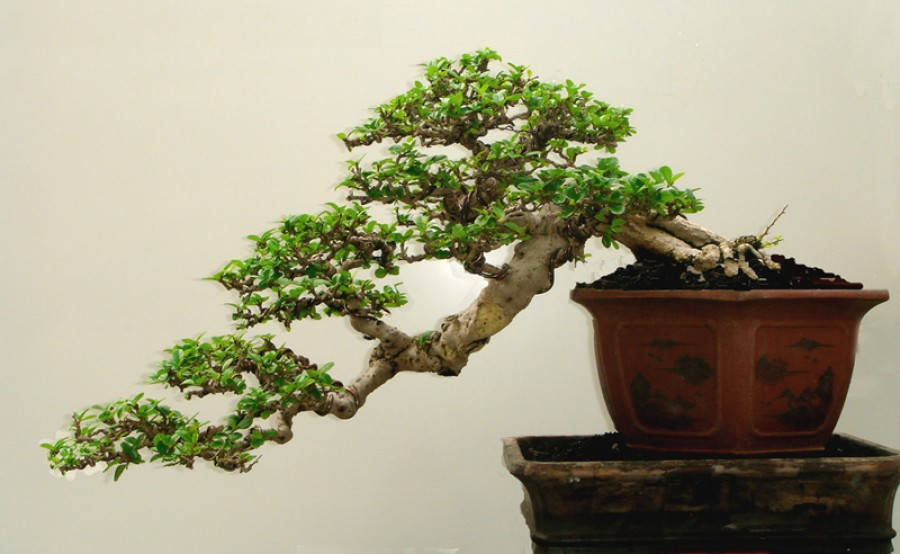 A bonsai fák és gondozásuk