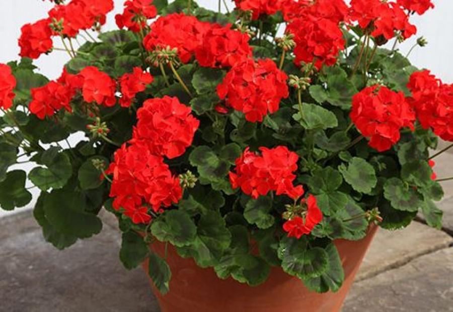 Csodásan dús levélzete és rengeteg virága lesz így a muskátlidnak!
