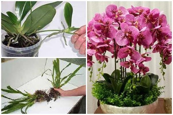 Szaporítsd saját magad az orchideát!