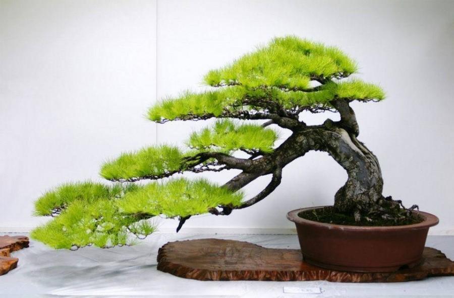 5 tévhit a Bonsaiokkal kapcsolatban