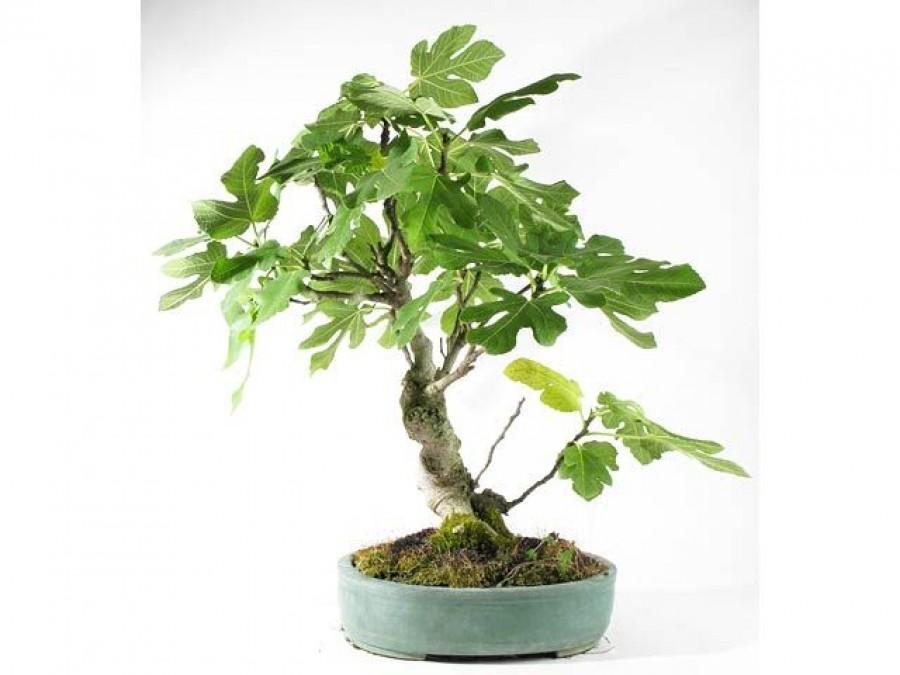 A ficus nem csak szobanövény! Tudtad, hogy sokan esszük és szeretjük?