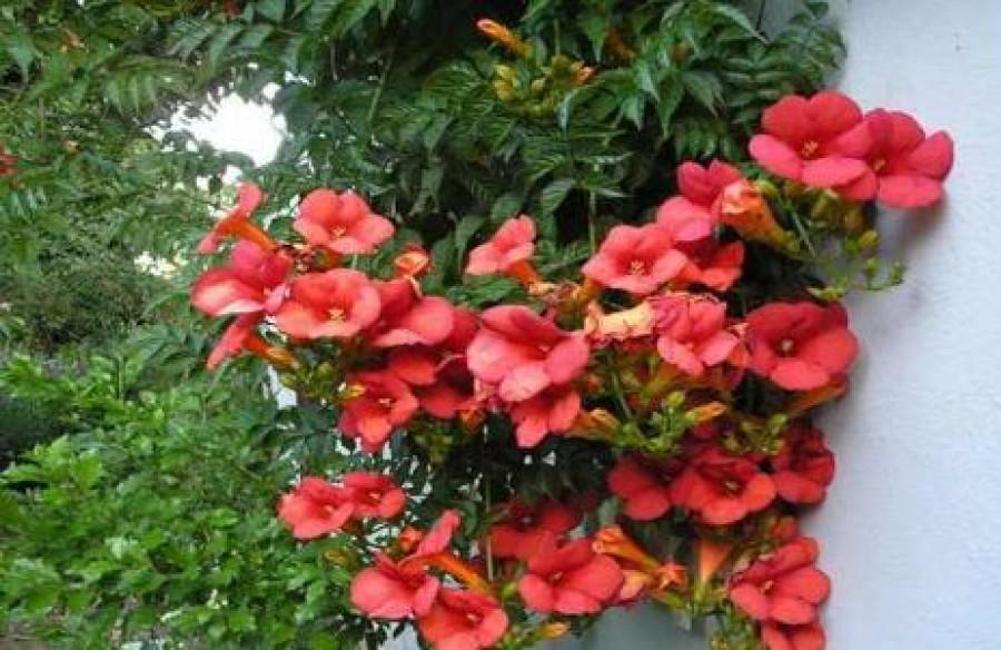 Az egyik legalattomosabb növény a kertben, pedig gyönyörű!