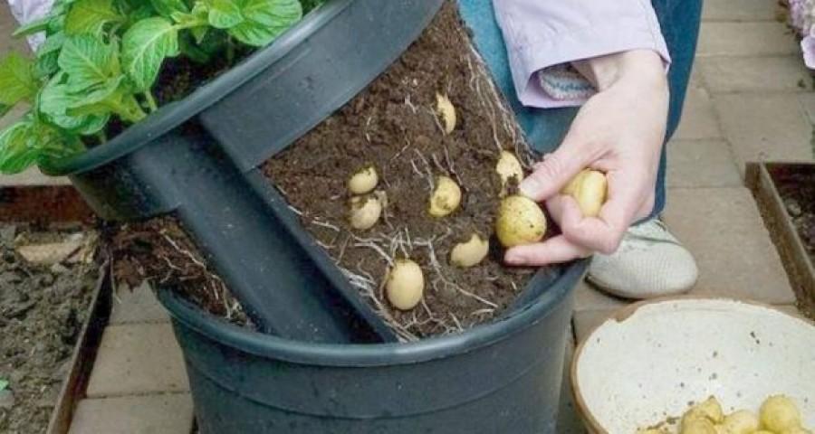 Nem kell  kiskert, hogy saját burgonyád legyen!