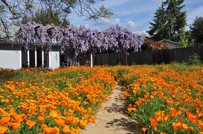 Ez a virág évről-évre napsárga tengerré változtathatja a kertedet!