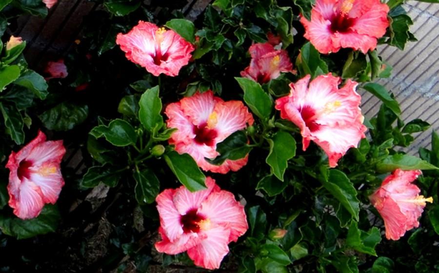 Így bírd virágzásra a hibiszkuszt télen is!