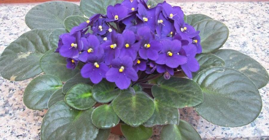 Így gondozd fokföldi ibolyád - egész évben virágozni fog!