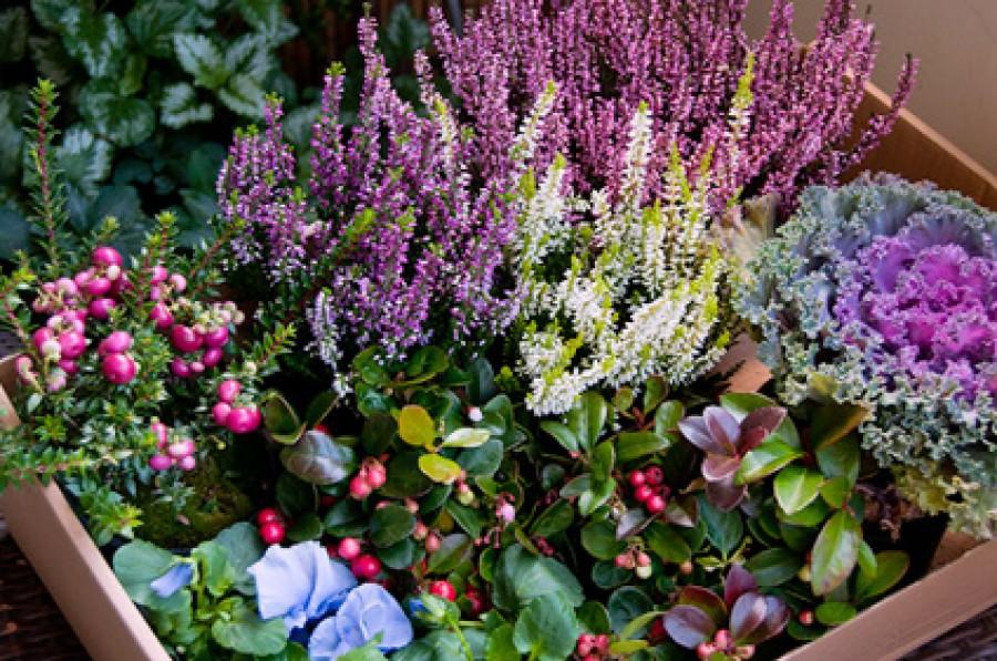 Mediterrán- és balkonnövényeink teleltetése