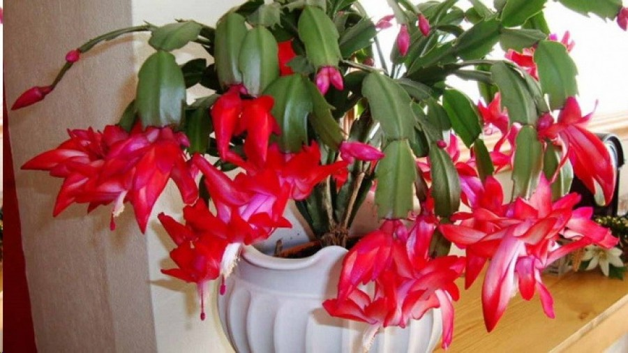 A karácsonyi kaktusz nagyon sok virágot hoz, ha jól gondozod!