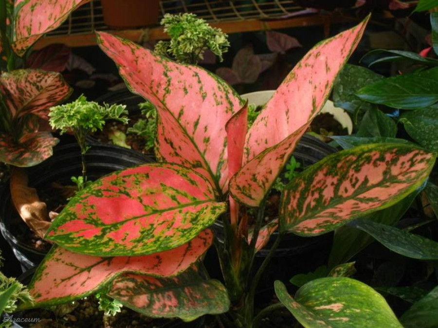 Rákvirág – a sokat tűrő szobanövény!