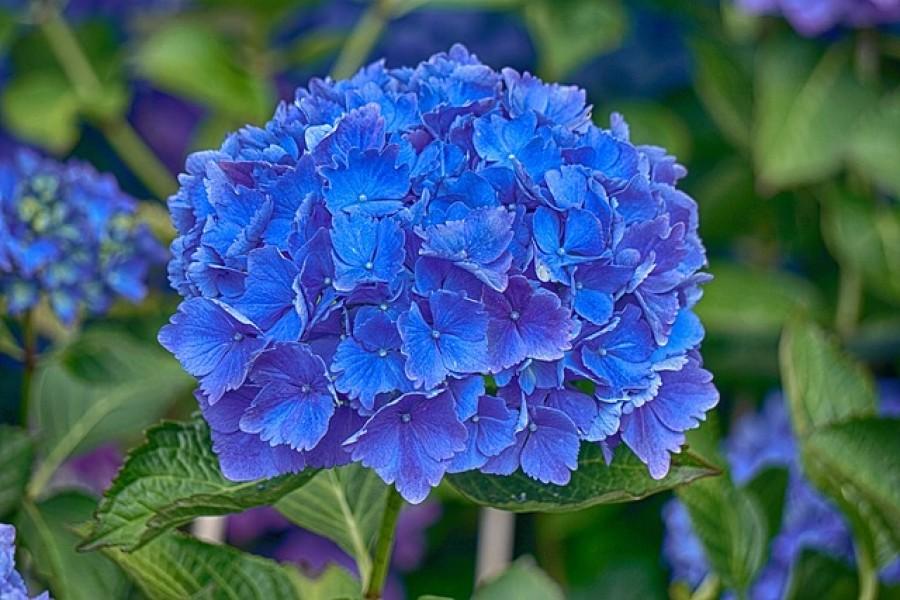 Szuper trükk! Így változtasd kékké a hortenziádat!