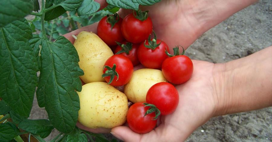 Hihetetlen, de paradicsomot és burgonyát is terem egyszerre ez a növény!