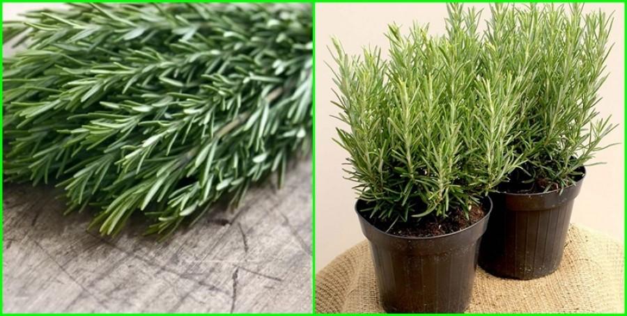 Könnyen szaporíthatod ezt a fűszernövényt, és még korpásodás ellen is fantasztikus!