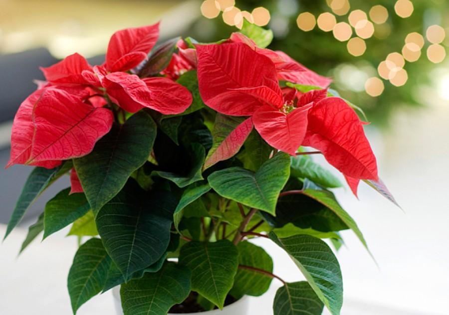 Így lesz karácsonyra gyönyörű a mikulásvirágod!