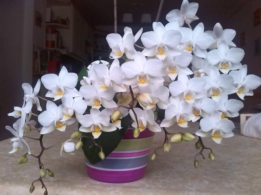 4 lépésben újra virágba boríthatod a lepkeorchideádat!