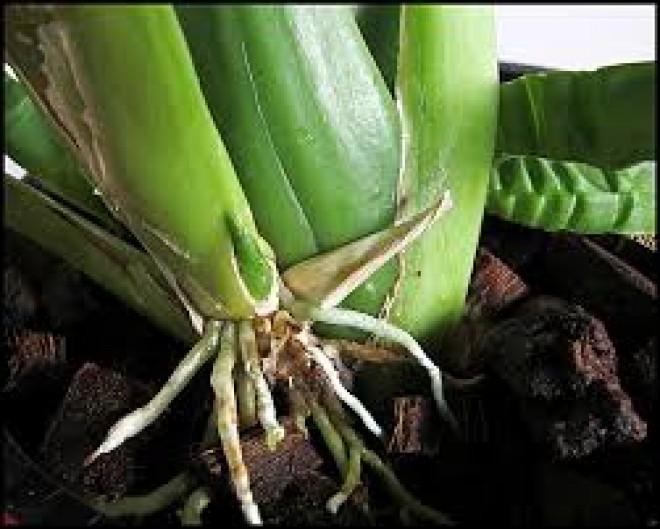 Ezt a hibát sokan elkövetik az orchidea átültetésénél!