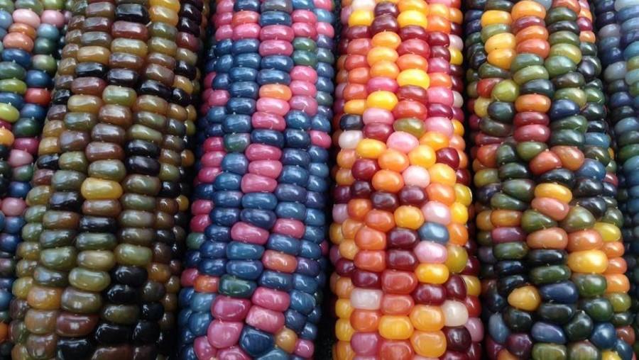 A szivárvány minden színében pompázik az üveggyöngy kukorica