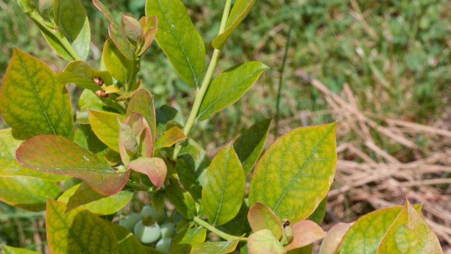 Komoly hiánybetegségre utalnak a sárga levelek!