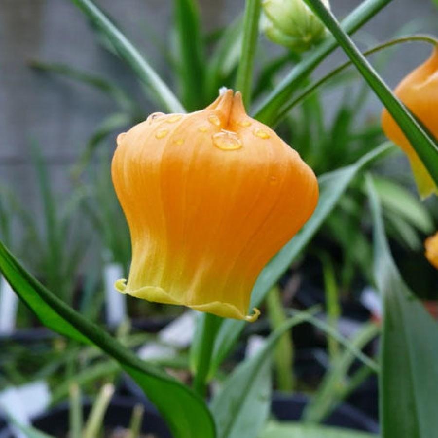 Díszítsék gyönyörű sárga lampionok a kertedet!