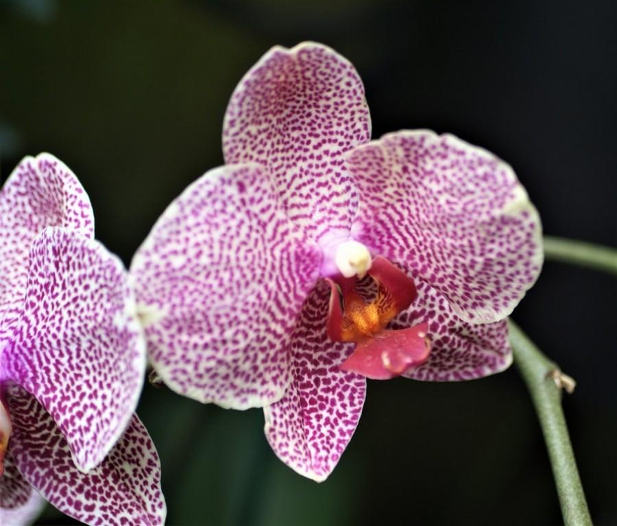 Mióta így gondozom az orchideát, rengeteg virág van rajta!