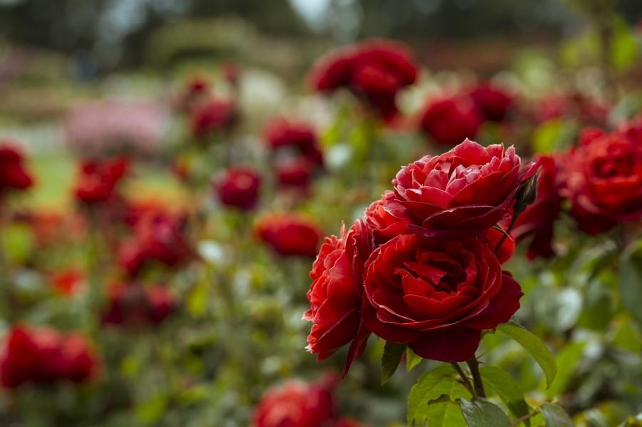 Így lesz jövőre dúsan, egészségesen virágzó rózsakertünk?