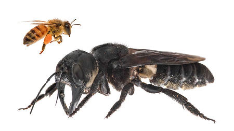 Kihaltnak hitt óriásméhet találtak! Négyszer nagyobb a háziméhnél!