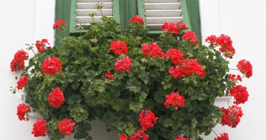 Csak egy csepp a muskátlidra: virágözönnel jutalmazza meg a növény a gondoskodást