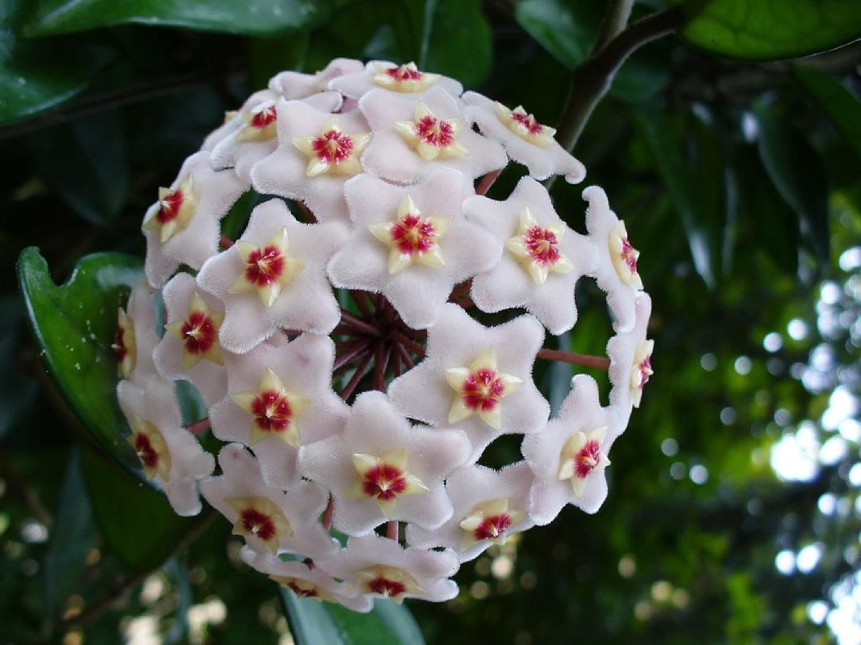 Viaszvirág – az elfelejtett szépség