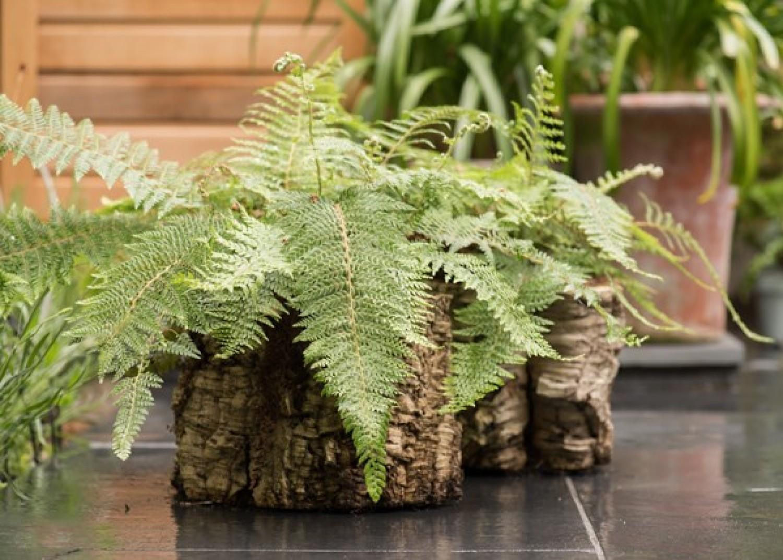 Ez a növény a fürdőszbában érzi legjobban magát