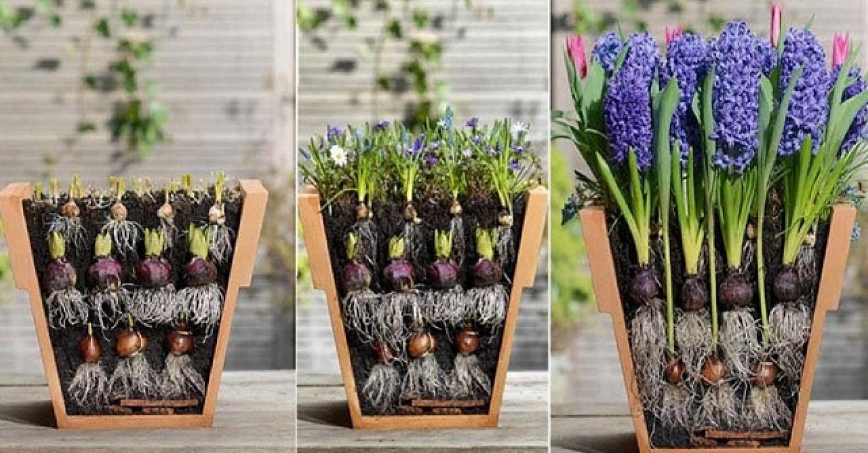Szendvics módszer a virághagymák ültetésére