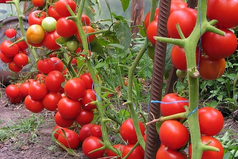 Ezzel az élesztős keverékkel locsold be a paradicsomot és uborkát