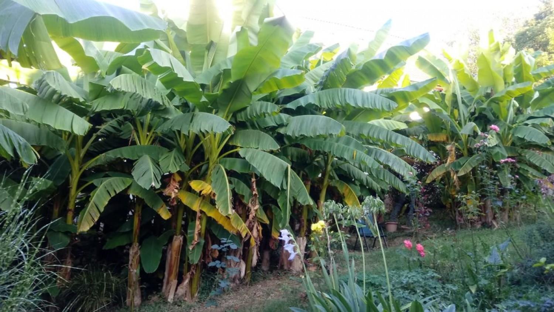 Már virágzik a magyar banánliget