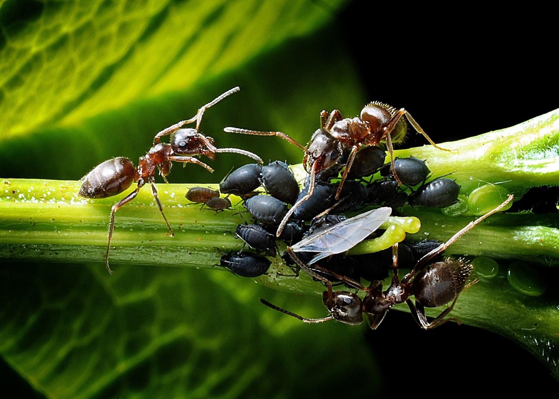 2000 éves praktikák a hangyák elűzésére