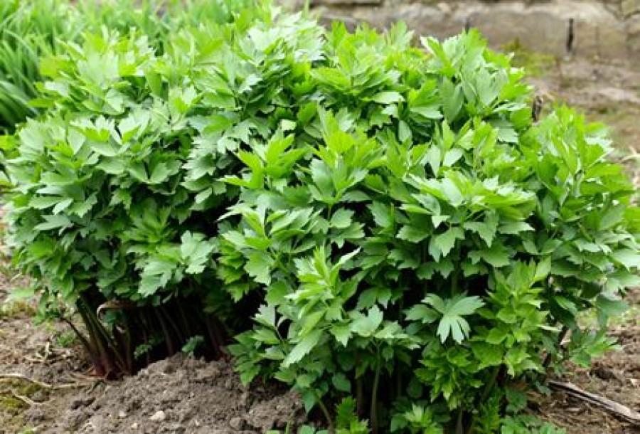 Egy régi fűszernövényünk, aminek olyan íze van, mint a delikátnak!