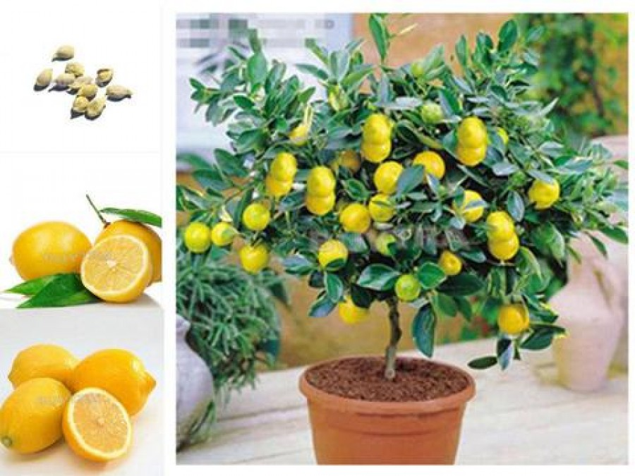 Termő citromfa egy apró tálban